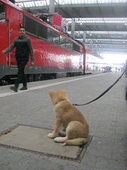 akita puppy on train station (Samurai-Akita) Tags: dog 3 cute japan puppy japanese sweet ken adorable hund month akita inu welpe ss monate