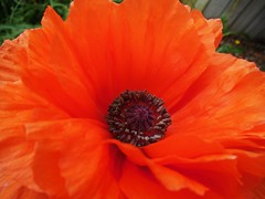 poppies 031 (cellocarrots) Tags: poppies