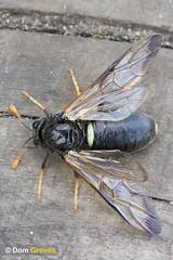 Birch Sawfly (Dom Greves) Tags: uk woodland insect spring wildlife may surrey invertebrate heathland thursleycommon birchsawfly cimbexfemoratus