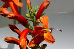 Number 159 of 365 / 2013 - Macro (MarkFromAdelaide) Tags: macro closeup redflower flowercloseup day159 flowermacro day159365 number159 3652013 365the2013edition 08jun13