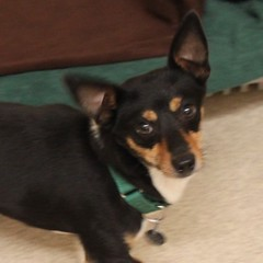 Alvan(1) (Mary022378) Tags: dogs puppies naperville adopt adoptpetshelter