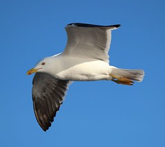 Sergei the Sea Gull in the Baltic Sea (Bogger3.) Tags: seagull balticsea cruiseship coth supershot canon600d