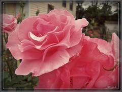Frills and Flounces (MissyPenny) Tags: pink roses rose garden flora florabunda bristolpennsylvania kodakz990 pdlaich missypenny