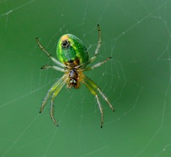 Cucumber Spider (Yannick82) Tags: macro insect spider