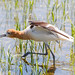 AmericanAvocet_MG_5442untitledWeb copy