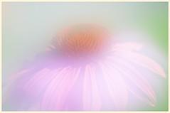 Cone Flower (Ben Kuropat) Tags: flower echinacea coneflower