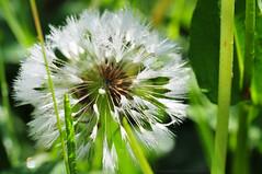 Beauty (marmotta1) Tags: wasser grn weiss morgen tropfen lwenzahn pusteblume