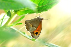 butterfly (Ignazio Corda) Tags: butterfly papillon mariposa farfalla justnature nikond300 beautifulmonsters photobyigcor