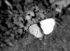 White butterfly (Landanna) Tags: bw white black butterfly zwart wit sort sommerfugl hvid vlinder zw whitebutterfly