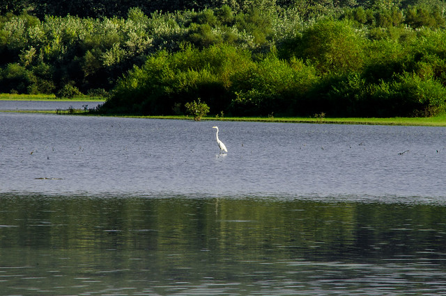 Crooked Creek - Great Egret - September 2013