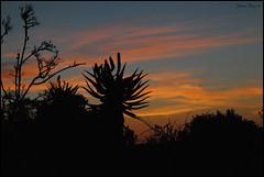 aloe at sunset (johanita) Tags: sunset aloe kariegagamereserve