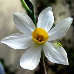 Daffodil  (yoel_tw) Tags: daffodil