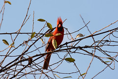 Check out my Doo (Astral Will) Tags: blue red bird vines branches birding hairdo crest doo sidvicious
