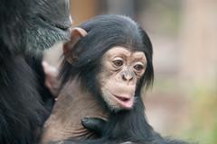 2013-11-24-13h02m48.272P2271 (A.J. Haverkamp) Tags: amsterdam zoo amber thenetherlands chimpanzee artis dierentuin chimpansee ajani canonef70200mmf28lisusmlens httpwwwartisnl pobamsterdamthenetherlands pobamersfoortthenetherlands dob05041994 dob27082013