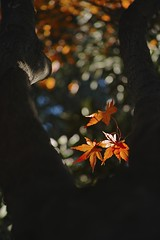 Magic of DOF (SIGMA DP3 Merrill) (potopoto53age) Tags: park plant macro tree apple leaves japan closeup 50mm maple aperture dof magic sigma momiji 日本 colored 紅葉 f28 yamanashi redleaves merrill kofu openaperture kose appleaperture dp3 sigmalens sportspark 山梨県 モミジ 小瀬 甲府市 kosesportspark potopoto53age sigmaphotopro 小瀬スポーツ公園 玉ボケ スポーツ公園 dp3m dp3merrill sigmadp3merrill sigmalens50mmf28macro sigmaphotopro553 magicofdof depthoffield coloredleaves