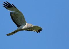 Male Northern Harrier...#13 (Guy Lichter Photography - Thank you for 2.5M views) Tags: canada bird birds animal animals canon wildlife flight manitoba oakhammockmarsh northernharrier canon14xteleconverter canonef400mmf56l avianexcellence 5d3 birdperfect amazingwildlifephotography