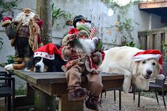 Merry Christmas! (Ju Lopes) Tags: christmas dog mountain dogs natal sarah nikon harry bernese kuvasz d3100