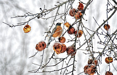 Winter Snack (Wes Iversen) Tags: winter nature fruit michigan robins peaches apples midland odc hcs chippewanaturecenter nikkor18300mm ourdailychallenge clichésaturday