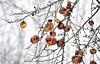 Winter Snack (Wes Iversen) Tags: winter nature fruit michigan robins peaches apples midland odc hcs chippewanaturecenter nikkor18300mm ourdailychallenge clichésaturday
