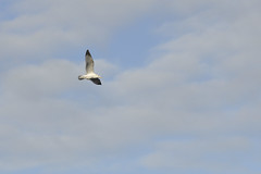 Gaviotas / Seagulls (Gabriel Bussi) Tags: espaa spain corua seagull galicia mwe espagne gaviota spanien spagna acorua lacorua galizien