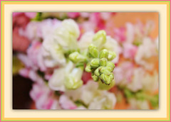 Pretty Pastels (bigbrowneyez) Tags: flowers 3d soft pretty dof bright bokeh gorgeous poetic pastels fancy dreamy colourful lovely fiori delicate watercolours belli snapdragons delightful cornice bello uplifting bellissimo 3deffect frme bokehlicious prettypastels