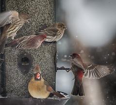 group activity (nosha) Tags: usa winter beautiful beauty bird birdbokeh birds bokeh mercer mercercounty nature newjersey nikon nj nosha pennington penningtonnj red snow snowflake