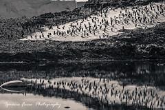 Some penguins (Ignacio Ferre) Tags: bird penguin antarctica ave pingino antrtida pygoscelisadeliae adliepenguin pinginodeadelia