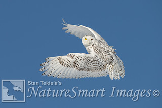 Snowy Owl flight