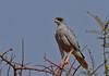 Eastern Pale Chanting Goshawk (Rainbirder) Tags: kenya samburu melieraxpoliopterus easternpalechantinggoshawk somalichantinggoshawk rainbirder