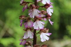 Orchis purpurea, Purpur-Knabenkraut (Spiranthes2013) Tags: orchid nature germany deutschland hessen natur judith orchidee hesse becker 2013 orchispurpurea purpurknabenkraut