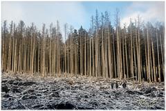 Brocken Woods (Ruben_Solaz) Tags: trees winter sky snow germany woods forrest cleaning pines brocken tall harz wernigerode saxonyanhalt