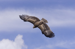 Sailing I/II (derliebewolf) Tags: reisen eagle wildlife adler vgel thiopien oromia debrelibanos