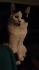 Mu is not a fan of Gin and Tonic (H McCann) Tags: pet cute animal cat kitten chat kitty gato kitteh meow neko katze cuteness mu gatto gatti gatito mignon chaton