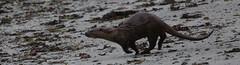 Beach Hopping by Linda Nicholson (P&L Nicholson Photography) Tags: family name otter isles shetland scientific fetlar mustelidae lutralutra dratsie