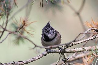 Crested Tit, Cairngorms National Park, Scotland, September 2014