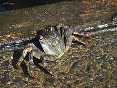 Crab (pat.bluey) Tags: little crab australia newsouthwales 1001nights barrackpoint 1001nightsmagiccity