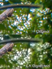 Fixing chromatic aberration - DSC_4407_CA (nickybay) Tags: macro spider long web orb horn weaver sabah chromaticaberration arcuata araneidae macracantha tawauhill borneobootcamp