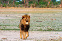Cecil - The iconic Lion of Hwange (paulafrenchp) Tags: