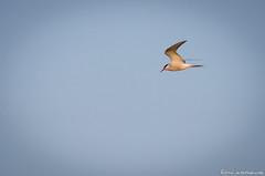 Tern (jukkarothlauronen) Tags: bird sweden kalmar