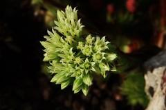 green Flower (Hugo von Schreck) Tags: hugovonschreck flower blume blüte macro makro canoneos5dsr tamron28300mmf3563divcpzda010 onlythebestofnature