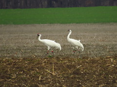 IMG_1597-1 Whooping Cranes (John Pohl2011) Tags: canon canonsx50hs sx50hs john pohl bird wading waterfowl
