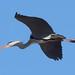 Gråhäger, Grey heron, Ardea cinerea EM1B6207