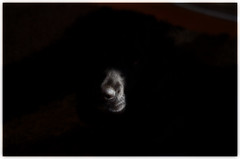 Where's Alfie (Laineyb93) Tags: shade shadowsandlight pattern blackcockerspaniel cocker alfie nikon nikond7000 nose sunlight dog black lowkey