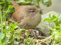 wren (TAKEUSTOO) Tags: birds beaks beautiful wildlife wildlifephotography garden greatphotographers nature animals allnaturesparadise anawsomeshot