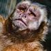 Capuchin monkey gazing at the world beyond the bars