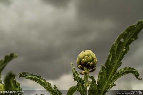 Alcachofas del huerto bajo cielo plomizo