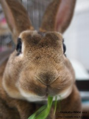 P5220413 () Tags: rabbit bunny usagi  minirex