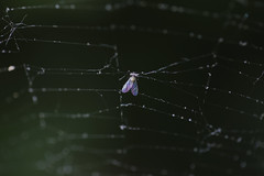 1. Trapped : the prey) (HOWLD) Tags: macro canon bug death fly spiderweb trap howd 100mmf28lmacro 5dmiii