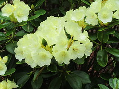 Lemon Dream (dnoc) Tags: rhododendrons