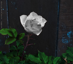 White Rose (Schaffell) Tags: wood blue white green rose fence garden kensington
